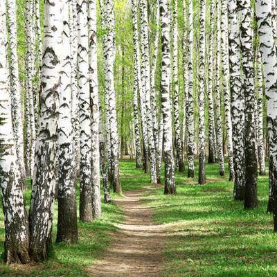 Black Birch is a beautiful tree species.