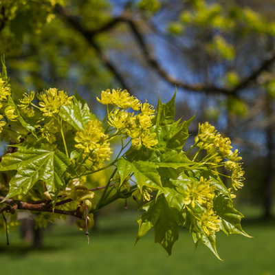 Sugar maples flowering in the spring is a beautiful sight.