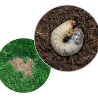 Telltale Signs That Grubs Are Attacking Your Property