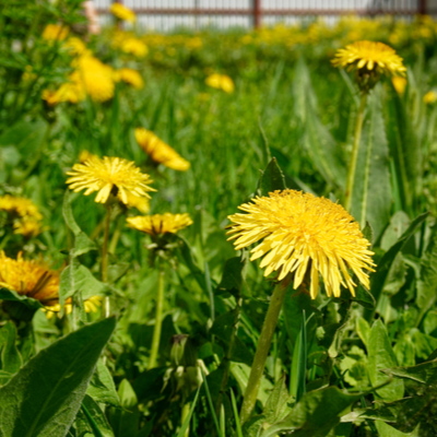 One of the best holiday gifts for lawn lovers is the gift of weed control through the Naturally Green Lawn Care Program, to help protect the lawn from dandelions and other weeds.