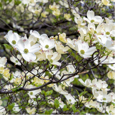 Dogwood trees are the common favorites when it comes to flowering trees in Connecticut.