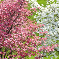 dogwood tree with blossoms