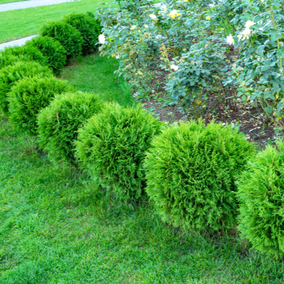 round shrubs in landscaping